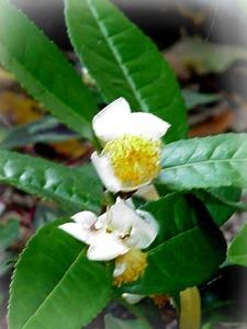 tea shrub flower
